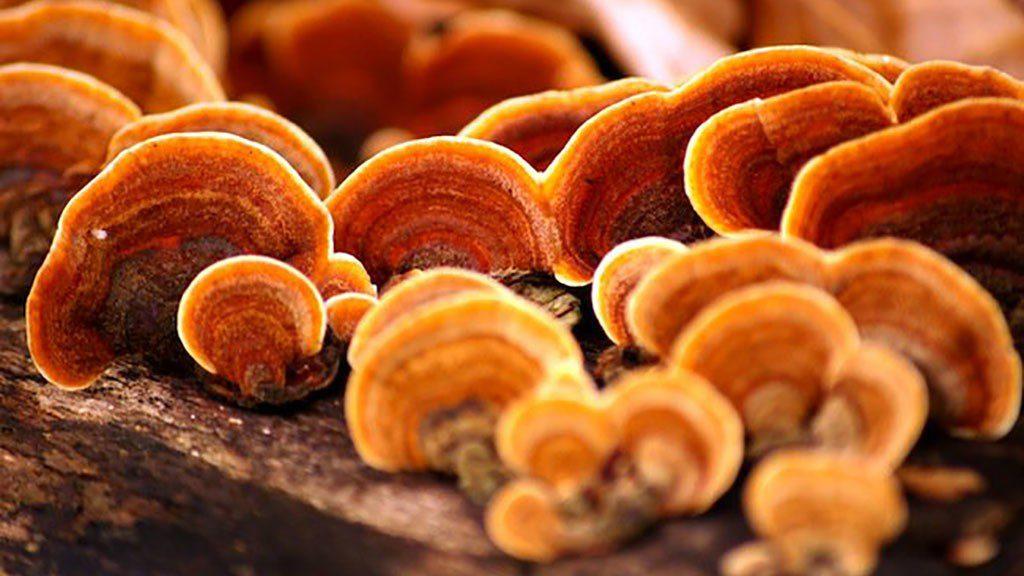 Các loại nấm linh chi và những lưu ý khi sử dụng